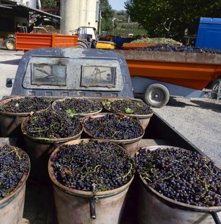 cooperativa: Uvas listas para descargar en la f�brica del vino (cueva cooperativa) en Francia Foto de archivo