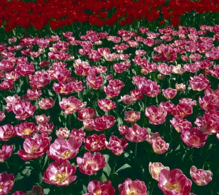 Tulip field with two colours in Holland, Europe Stock Photo - 19635732