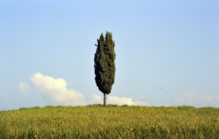 val d      orcia: One cypress tree at Val d Orcia near Siena in Tuscany, Italy