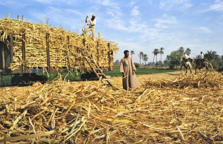 Egypt- March 17,2011  farm workers loading harvested sugarcane in Egypt on a train near the river Nile Redactioneel