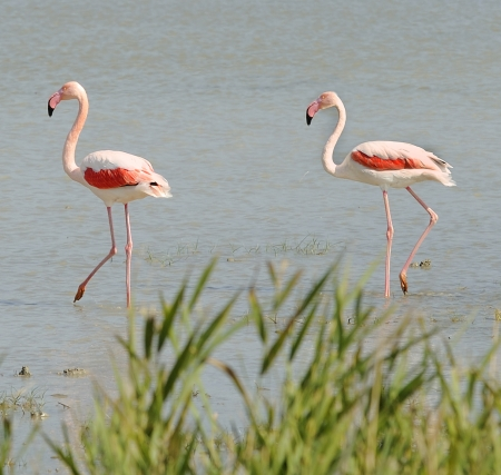 Flamengos in the National Park of Camargue near Saintes Maries de la Mer,  France photo