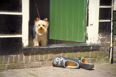 klompen: Dog in the doorway of a typical old Dutch house Outside on the street a pair iof original Dutch wooden shoes