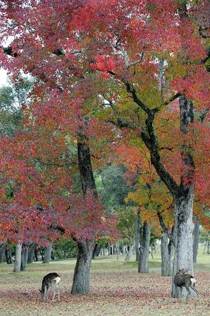 kink: Deer of Nara Park in autumn season Stock Photo
