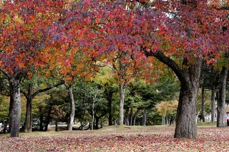 Autumn Japanese garden with maple in Nara, near Kyoto,Japan photo