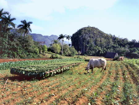 Tobacco plantation in Pinar del R o Province, Cuba with drying harvest and grazing bull Banco de Imagens