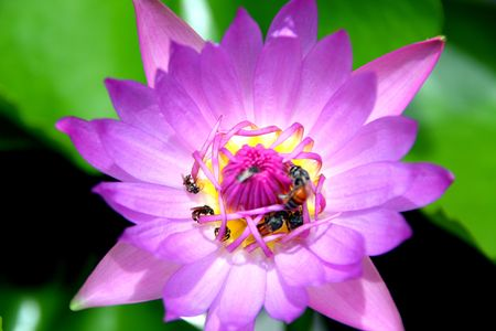 Purple Lotus and Bees, Thailand Stock Photo - 7491797