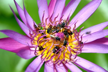 Purple Lotus and Bees, Thailand photo