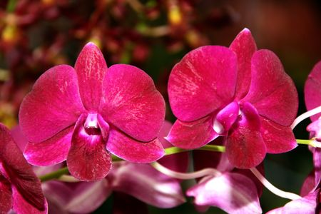 Thai Orchid, Thailand photo