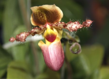 Thai Orchid (Paphiopedilum or Venus Slipper)   photo