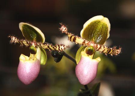 thai orchid: Thai Orchid (Paphiopedilum or Venus Slipper)   Stock Photo