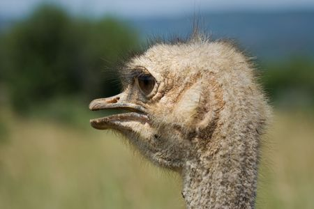uncluttered: Close-up portrait of the head of an Ostrich.