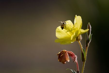 uncluttered: Close-up of a bee landing on a bright yellow flower Stock Photo