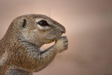 cape ground squirrel: Close-up of a Ground Squirrel (Xerus inaurus) feeding, Twee Rivieren, Kgalagadi Transfrontier Park, South Africa. Stock Photo