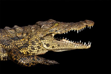 Nile crocodile head and jaws isolated on black with clipping path