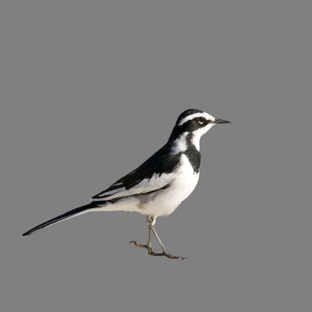 pied: African Pied Wagtail isolated on medium gray with clipping path