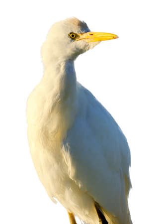 Close up portrait of a Cattle Egret isolated on white. False Bay Nature Reserve, Cape Town, South Africa.