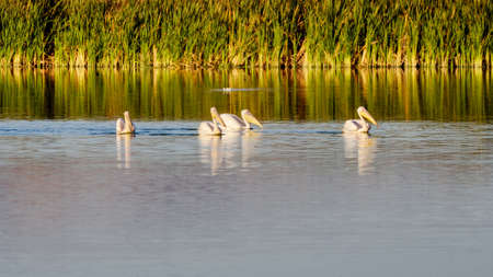 Great White Pelicans swimming and feeding on a lake in the morning light. False Bay Nature Reserve, Cape Town, South Africa.