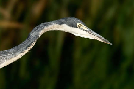 Close-up portrait of a Black-headed Heron. False Bay Nature Reserve, Cape Town, South Africa.