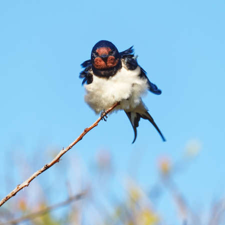 Close-up of a windblown Barn Swallow perched on a branch in the False Bay Nature Reserve in Cape Town, South Africa.