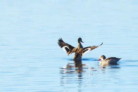 Two Cape Teal ducks on a blue lake in the False Bay Nature Reserve in Cape Town, South Africa.