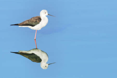 Close-up of a Black-winged Stilt and its reflection on blue water. False Bay Nature Reserve, Cape Town, South Africa. Stock Photo