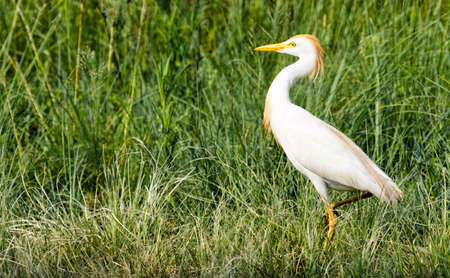 Cattle Egret walking through grass in its summer coloring in the Rietvlei Nature Reserve, Pretoria, South Africa. Stock Photo