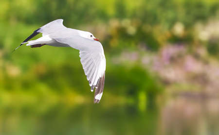 Hartlaub Gull in flight. False Bay Nature Reserve, Cape Town, South Africa. Stock Photo