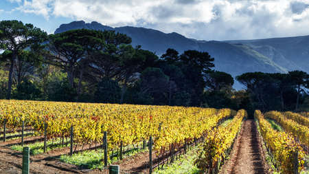 Vineyard in Autumn. Constantia, Cape Town, South Africa. Stock Photo