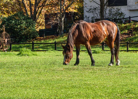 Low angle view of a bay horse grazing in autumn sunshine in a green paddock.