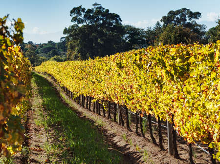 Row of autumn vines in a vineyard. Constantia, Cape Town, South Africa.