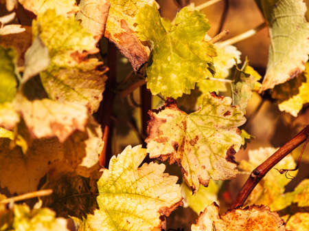 Close-up of autumn vine leaves in a vineyard. Constantia, Cape Town, South Africa. Stock Photo