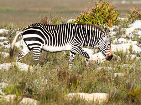 Cape Mountain Zebra stallion walking in the Cape of Good Hope Nature Reserve, Cape Point, Cape Town, Western Cape, South Africa. Stock Photo