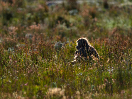 Baboon sitting feeding amongst the winter fynbos, backlit by the morning sun. Good Hope Nature Reserve, Cape Point, South Africa.
