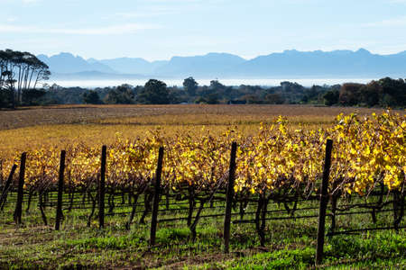 View of a Cape vineyard in autumn with trees mist, mountains and sky in the background.