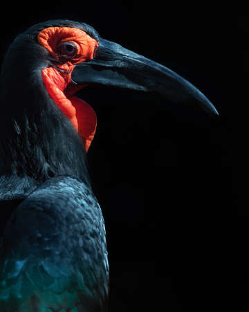Low key close-up portrait of a Southern Ground Hornbill.