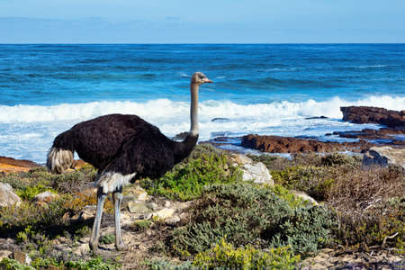 Male Ostrich standing by the sea in the Good Hope Nature Reserve, Cape Point, Cape Town, South Africa. Stock Photo