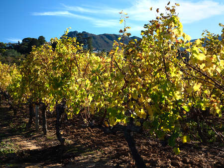 Autumn vines in a vineyard lit by the morning sun. Constantia, Cape Town, South Africa.