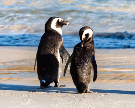 Two African Penguins at the water's edge. Boulders Beach, Simon's Town, South Africa. Stock Photo