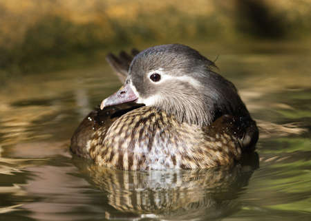Close-up portrait of a female wood duck floating in water.