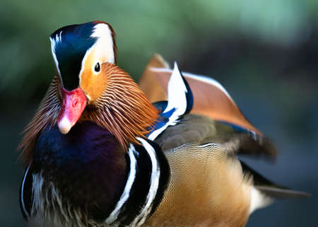 Extreme close-up portrait of the small exotic-looking male Mandarin Duck.