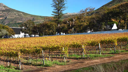 Autumn vineyard at Groot Constantia Wine Estate in Constantia, Cape Town, South Africa. 23 May 2021