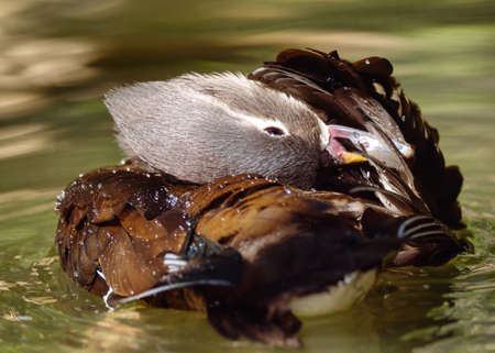 Close-up of a Wood Duck preening itself whilst swimming. Stock Photo