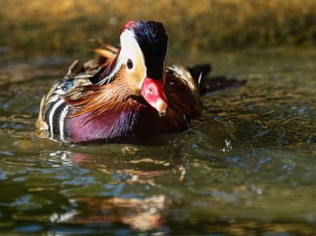 Low angle, close-up portrait of the small exotic-looking male Mandarin Duck swimming in a pond. Stock Photo