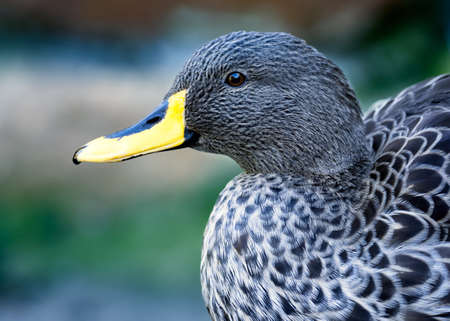 Low angle, close up portrait of a Yellow-billed duck