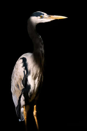 Low key capture of a Grey Heron lit by a shaft of sunlight.