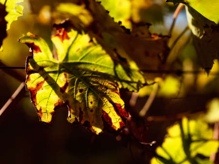 Close up of an vine leaf in a vineyard in autumn. Stock Photo