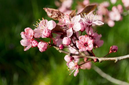 桜の花 写真素材