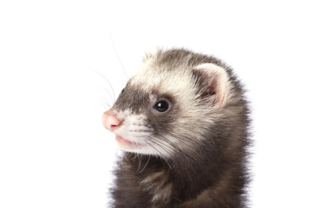 The surprised face ferret 스톡 콘텐츠