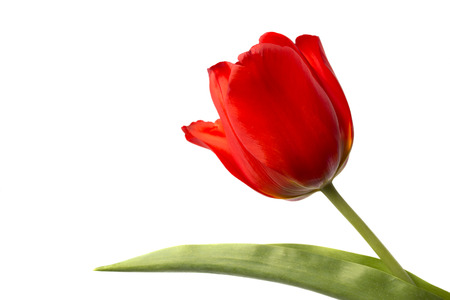 Red tulip and leaf 스톡 콘텐츠