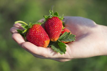 Strawberry in hand Standard-Bild